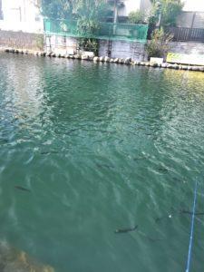 朝霞ガーデン1号池の魚