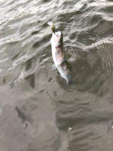 ルアーで釣ったニジマス