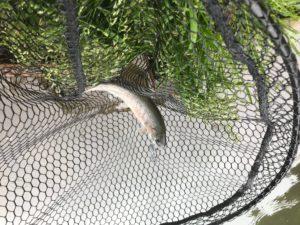 シュモークで釣れたニジマス